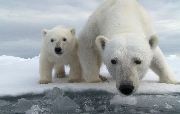 Picture ice, water, snow, the ocean, bear, bear, polar bear, bear