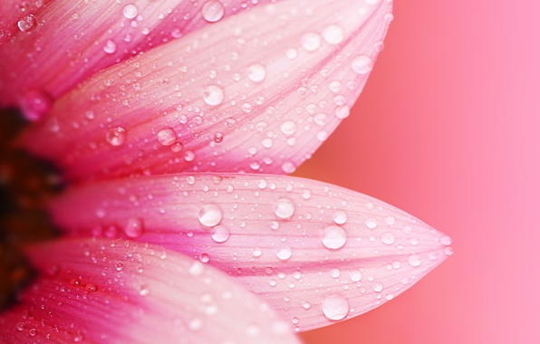 Picture flower, water, drops, macro, flowers, Rosa, background, pink, Wallpaper, blur, petals, wallpaper, flower, widescreen, background, …