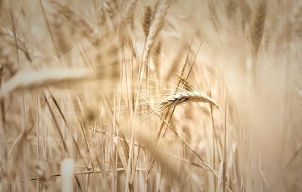 Picture wheat, field, macro, widescreen, Wallpaper, rye, blur, spikelets, wallpaper, ears, widescreen, background, spike, full screen, …