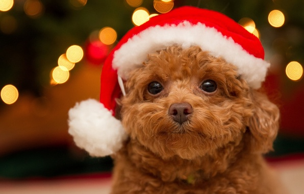Picture look, dog, muzzle, puppy, poodle, cap