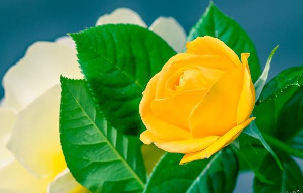 Picture macro, rose, yellow rose