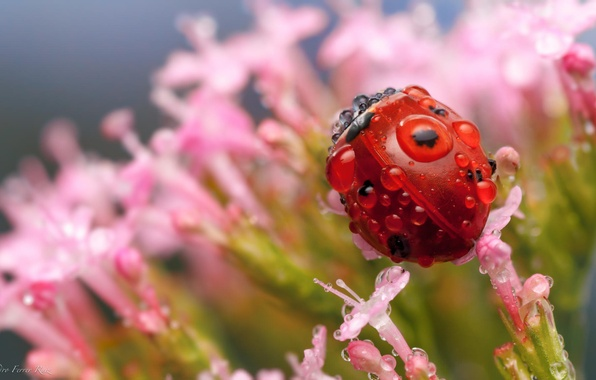 Picture drops, macro, flowers, Rosa, ladybug, insect