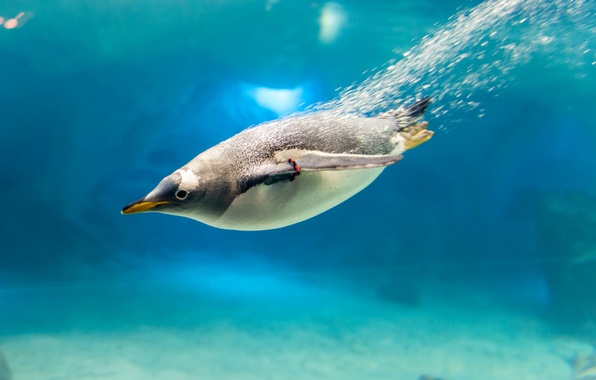 Picture water, bubbles, bird, beak, penguin