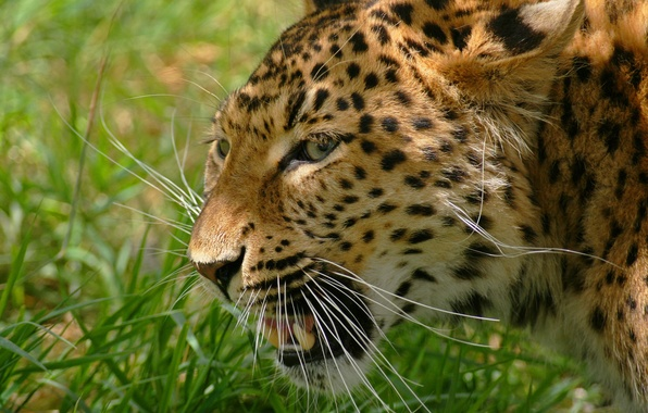 Picture grass, mustache, face, photo, predator, leopard, grin, wild cat, rosswillett