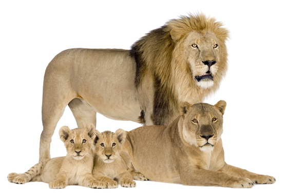 Picture Leo, family, white background, lions, the cubs, lioness
