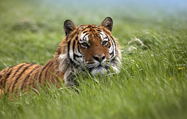 Picture field, grass, the steppe, field, predators, ambush, trap, wild cats, waiting, tigers, tigress, wildlife, traps, ...