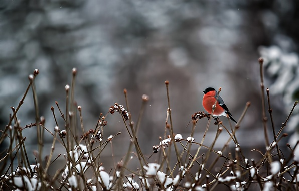 Picture snow, branches, bird, bullfinch