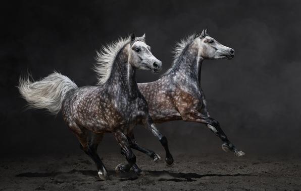 Picture horse, horse, dust, running, pair