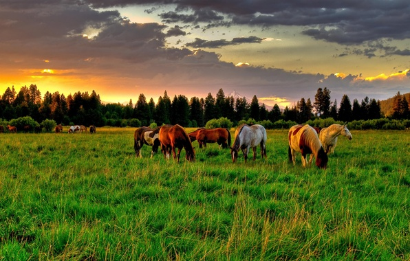 Picture field, summer, the sky, clouds, trees, sunset, sunrise, tree, glade, horse, horses, Nature, spruce, horse, …