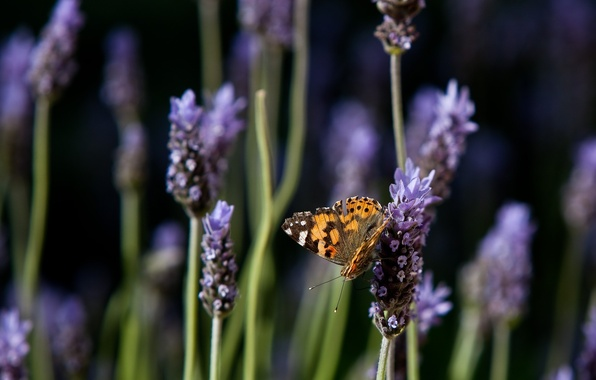 Picture flowers, nature, butterfly, lavender