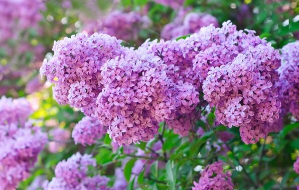 Picture flowers, Bush, spring, purple, lilac, lilac
