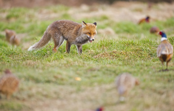Picture grass, glade, Fox, hunting, red, pheasants