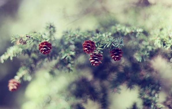 Picture nature, spruce, focus, branch, blur, needles, bumps, bokeh
