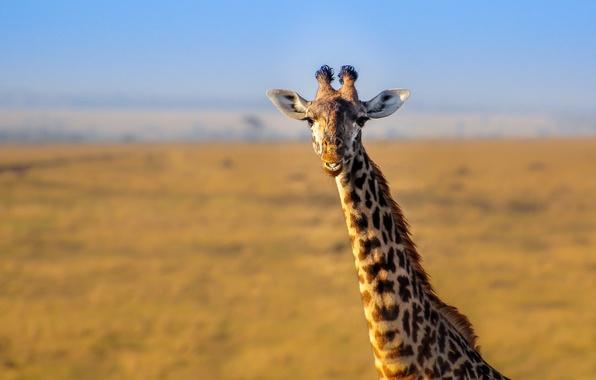 Picture landscape, nature, giraffe, Africa, neck