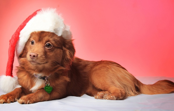Picture look, smile, hat, Christmas, dog, christmas, Dog, hat, smile, view