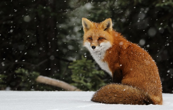 Picture winter, snow, snowflakes, Fox, red, snowfall, Fox