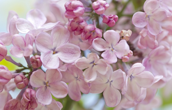 Picture macro, tenderness, spring, lilac