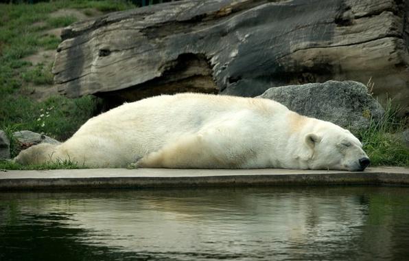 Picture white, stay, sleep, bear, sleeping