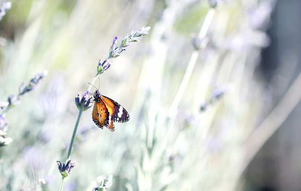 Picture flower, summer, macro, nature, butterfly, stem, insect, lavender, bokeh