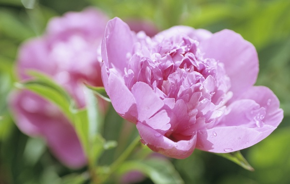 Picture flower, drops, macro, flowers, nature, Rosa, pink, petals, Bud, peony