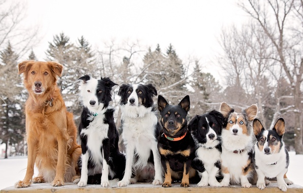 Picture dogs, rank, The border collie, Welsh Corgi, friends and comrades