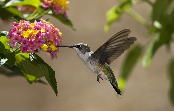 Picture leaves, flowers, nectar, bird, Hummingbird, Sunny