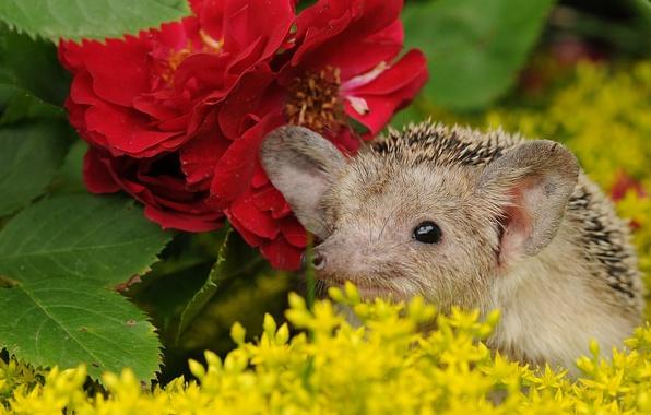 Picture flowers, muzzle, hedgehog