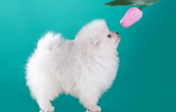 Picture white, Tulip, puppy, profile, Spitz