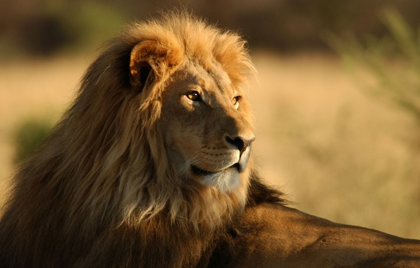 Picture animals, Savannah, wild cats, Africa, lions, wild cats, lions, africa