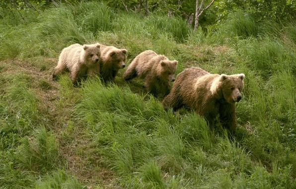 Picture grass, four, Alaska, bears