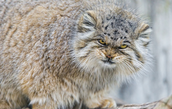 Picture cat, look, fluffy, evil, manul, ©Tambako The Jaguar