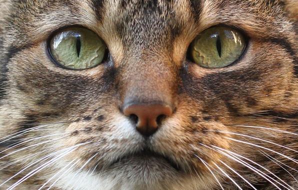 Picture cat, eyes, cat, look, muzzle