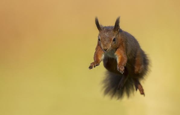 Picture flight, jump, protein, muzzle, animal, rodent