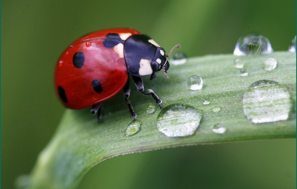 Picture grass, drops, macro, nature, ladybug, insect