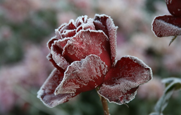 Picture cold, winter, frost, flower, macro, flowers, nature, background, Wallpaper, rose, village