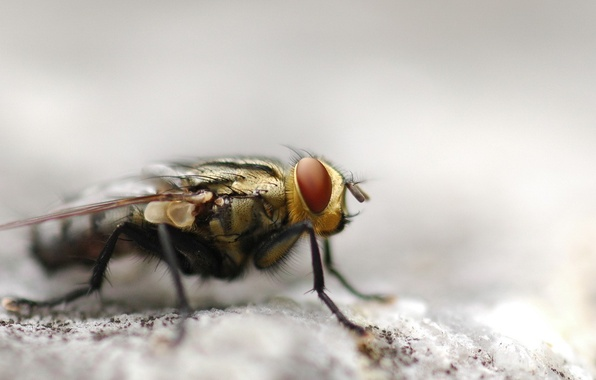 Picture fly, macro