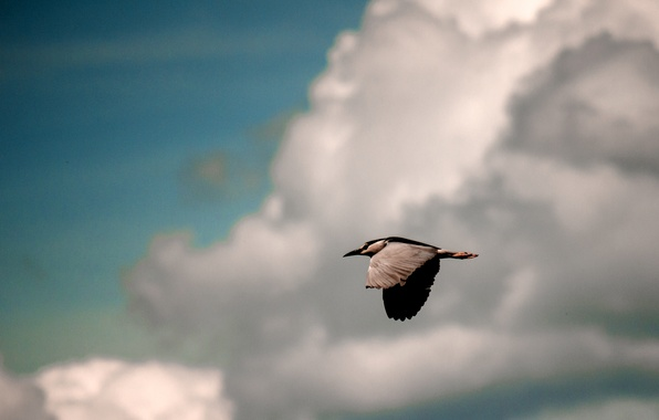 Picture the sky, clouds, flight, background, bird