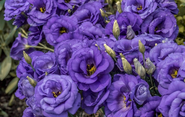Picture macro, petals, buds, eustoma