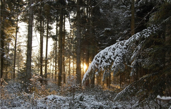 Picture FOREST, SNOW, WINTER, NEEDLES, SUNSET, LIGHT, TREES, BRANCHES, RAYS, TRUNKS