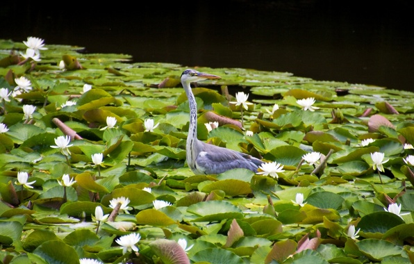 Picture leaves, bird, water lilies, water lilies, Grey Heron
