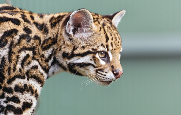 Picture cat, face, profile, ocelot, ©Tambako The Jaguar
