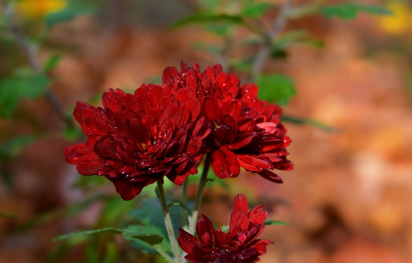 Picture Drops, chrysanthemum, Bokeh, Bokeh, Red flowers, Drops, Red flowers