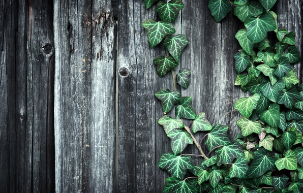 Picture leaves, the fence, plant, Board, texture, wooden