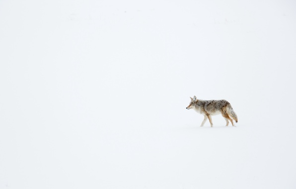 Picture winter, snow, coyote, meadow wolf