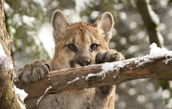 Picture cat, look, face, snow, branch, claws, cub, kitty, Puma, mountain lion, Cougar
