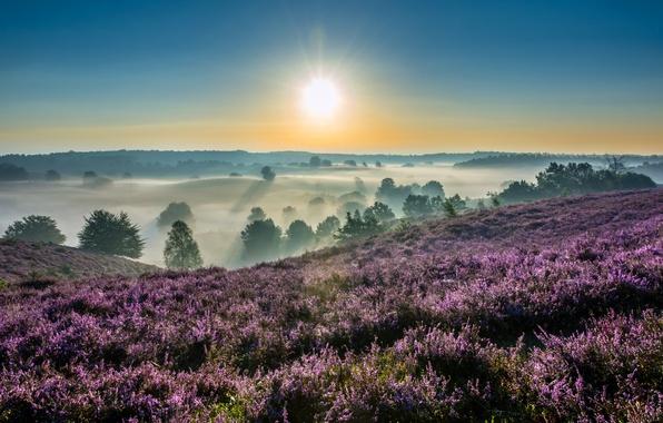 Picture fog, sunrise, dawn, morning, Netherlands, Netherlands, Heather, Gelderland, Gelderland, Hoge Veluwe National Park, National Park …