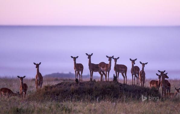 Picture nature, Africa, the herd, Kenya, Impala, antelope, Masai Mara National Reserve