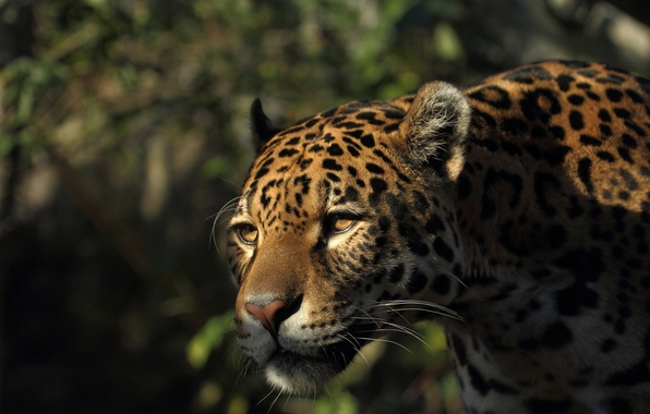 Picture look, face, predator, Jaguar, wild cat