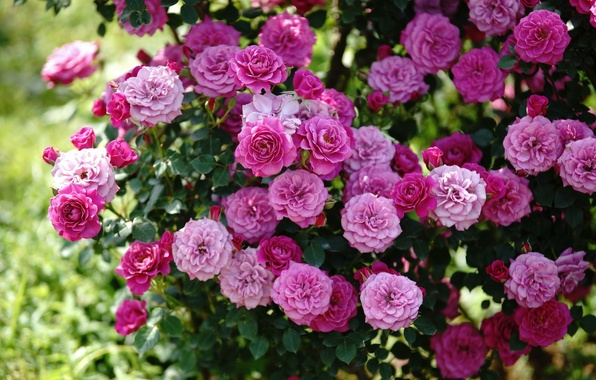 Picture pink, Bush, roses