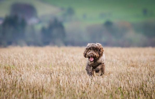 Picture dog, running, athletics